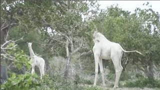 """Phát hiện cặp mẹ con hươu cao cổ """"bạch tạng"""" độc nhất vô nhị ở châu Phi"""