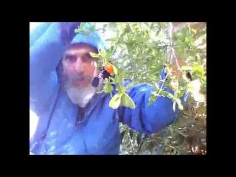 IshTube Berries of Wisdom: Foraging for African Boxthorn Fruits