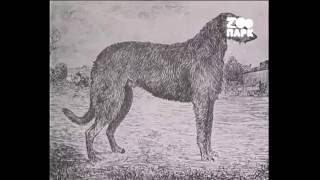 Породистый пес - Борзые и дирхаунды