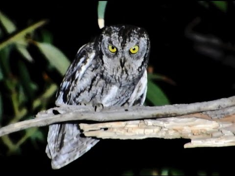 Cyprus Scops Owl ( Otus Cyprius )  θουπί - Endemic to Cyprus