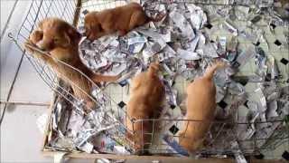 Golden Retriever Puppy 8 Weeks Old (mesa)