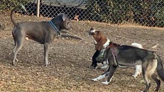 A Basset Hound Got too Greedy When he Stalked a Female