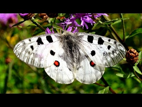 Summer journey - Parnassius apollo