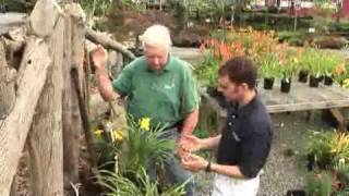 How to Plant Daylilies