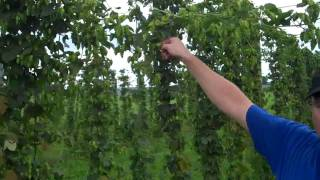 Weyerbacher Hops Farm