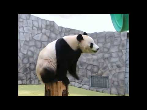 Giant panda climbs onto barrel at Moscow Zoo | ABC News