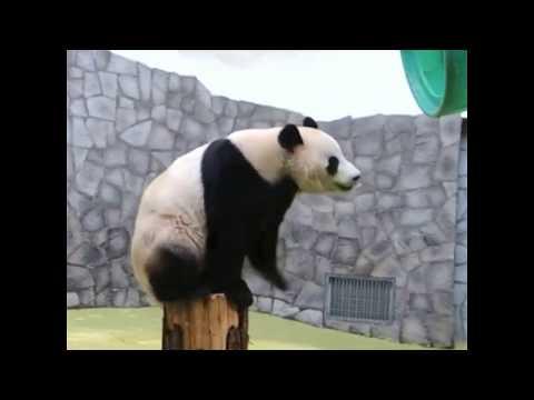 Giant Panda Climbs Onto Barrel At Moscow Zoo | ABC News