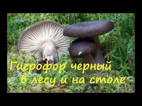 Гигрофор чёрный в лесу и на столе.