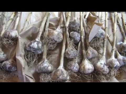 Наша дача на 17.08.19 г. Розы и картофель.Урожай чеснока, лука.