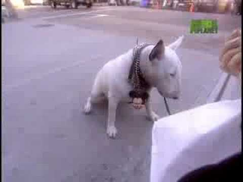 Breed All About It - Bull Terrier