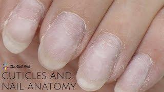 Cuticles & Nail Anatomy