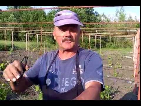 Вопрос: Как заложить виноградник?
