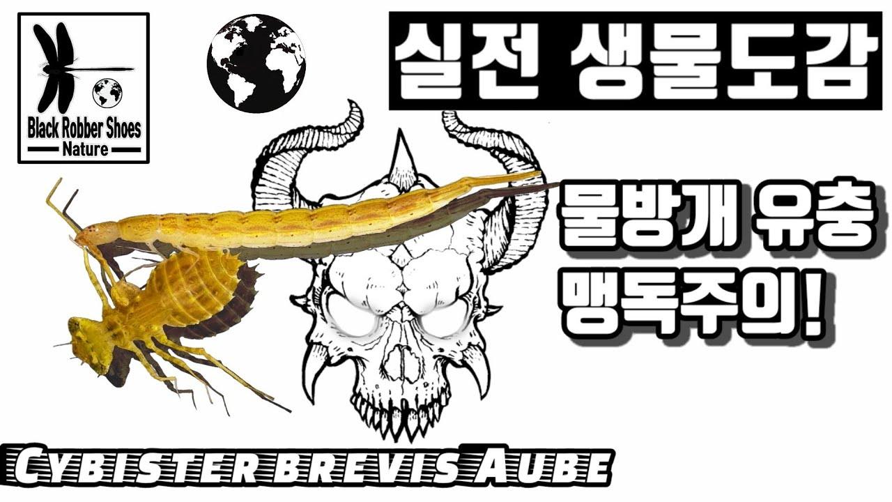 물방개 유충 먹이사냥, 무엇이든 녹여버리는 강산성의 맹독주의!