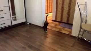 """Дрессировка кошек. Команда """"ФАС"""""""