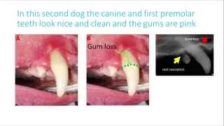 Anesthetic Free Dentistry: A Waste of Time and Money: Dentistry for pet owners