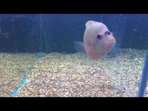 What are the most aggressive tropical fish in the shop?