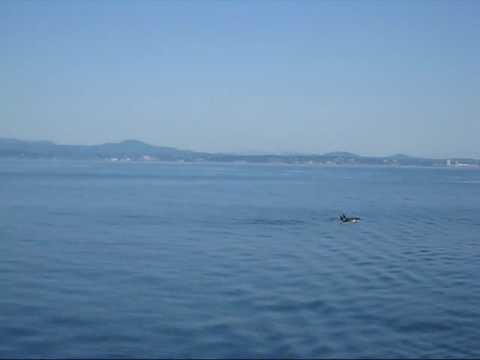 Killer Whales alongside the ferry Victoria - Port Angeles