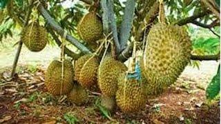 Langkah langkah Agar Tanaman Durian Cepat Berbuah