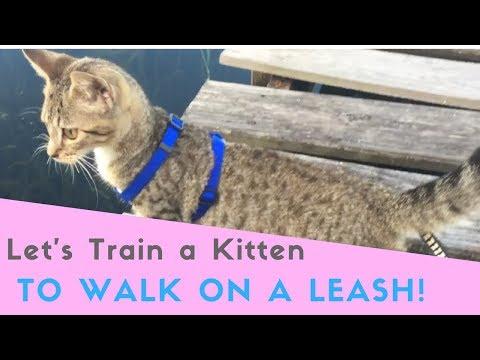 Let's teach a Kitten to Walk On a Leash! Kitten School tutorial