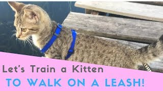 How to teach a Kitten to Walk On a Leash! Cat leash Training EASY!