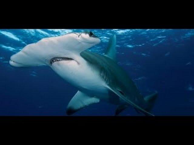 وثائقي I عالم الحيوان المفترسة I سمكة القرش أبو مطرقة عالم البحار
