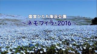 ひたち海浜公園 ~ネモフィラ・2016~ ネモフィラの丘 検索動画 8