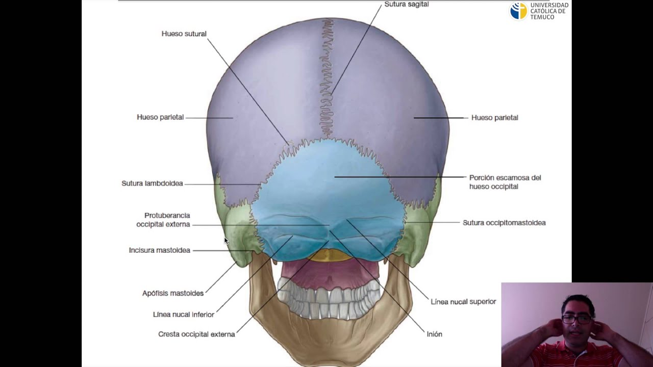 Hueso del Cráneo - YouTube