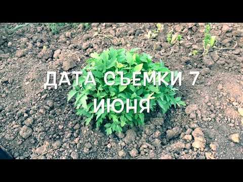 Пересадка волгоградских томатов/часть 2/посадка томатов