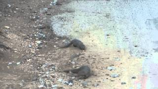00004 Mongoose, Cauvery Wildlife Sanctuary, Karnataka, 300114