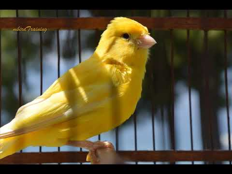 canary singing video - the best canary training song 40 minutes