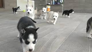 Cute puppies - Siberian Husky