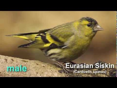 Siskin  ~ Eurasian Siskin  Bird Call  And Pictures For Teaching BIRDSONG