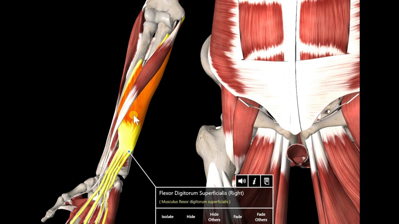 13 Muscle Gross Anatomy Forearm Muscles Youtube