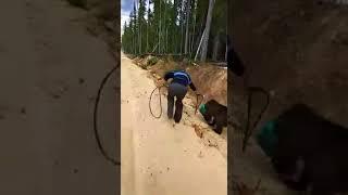 Медведь застрял головой в канистре