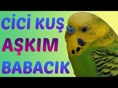 Cici Kuş Sesi, Aşkım Sesi, babacık  Konuşturma Egzersizi Dinlet Konuşsun Muhabbet kuşu indir