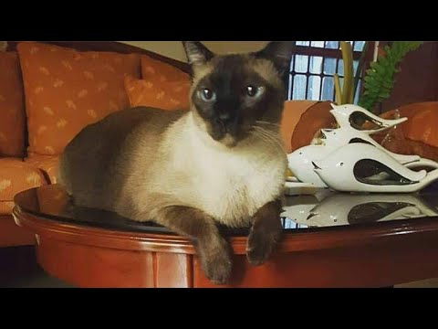 #MyCatsVLOG #14 Bath time for my #SiameseCat