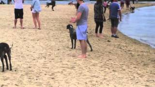 Gsp Gathering At The Sandown Street Dog Beach, Brighton, Vic.m4v