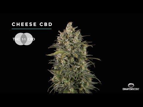 Cheese CBD rich feminized marijuana strain by Dinafem seeds in 4k