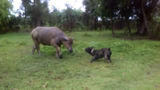 Кане корсо и корова