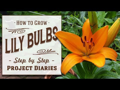 ★ How to: Grow Lily Bulbs in Containers (A Complete Step by Step Guide)
