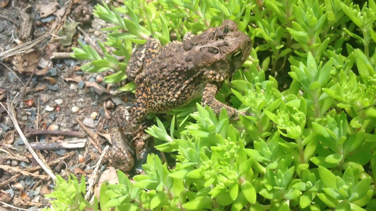 garden toad youtube