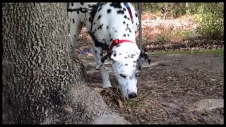 Dalmatian - Mayfair Park Review