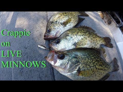 Catching Crappie On LIVE Minnows | How To Fish With LIVE Minnows For Crappie