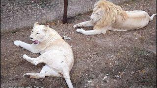 Тайган. Белые львы Рокки и Леди. Львиная любовь.