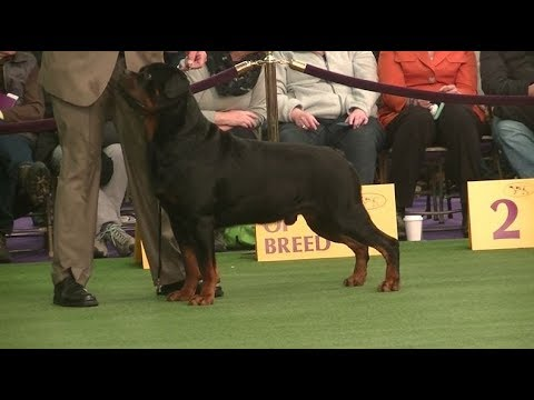 Rottweiler Westminster dog show on 13th February 2018 b
