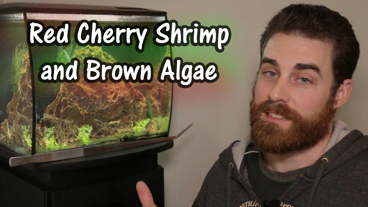 Red Cherry Shrimp Success Brown Algae And Aquarium Tips Youtube