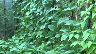 Do You Like Green Beans.  Then Grow Both Bush Beans And Pole Beans.