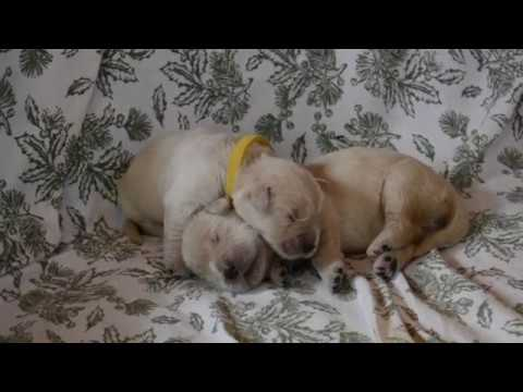 5 Day Old Golden Retriever Puppies Cuddling