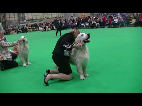 Golden Retriever Veteran dog in Crufts 2018 b