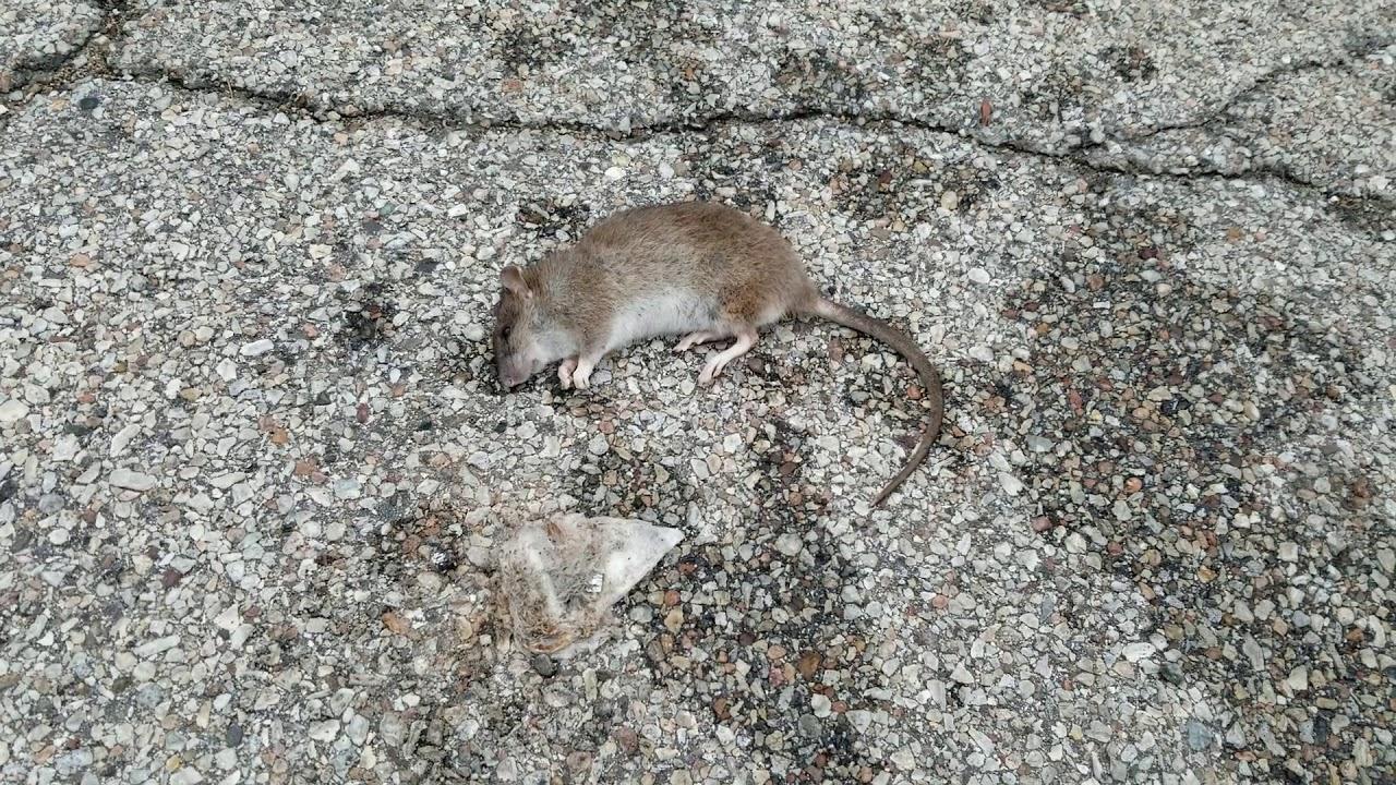 crack rat